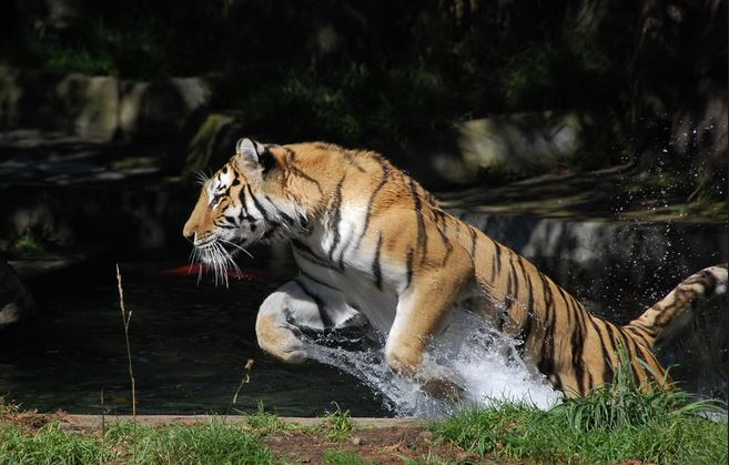 tiger-water